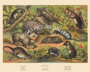 Pen Tail Shrew, Hedgehog, Flying Lemur, Squirrel Shrew, Tenrec